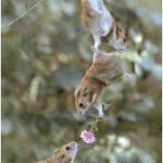连老鼠也会叫兄弟帮忙追女孩子!