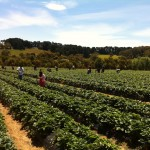 Melbourne: Sunny Ridge Strawberry Farm